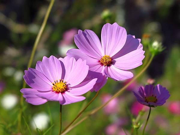 Asteraceae 23.JPG