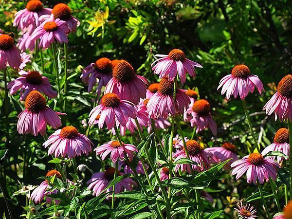Asteraceae 21.JPG