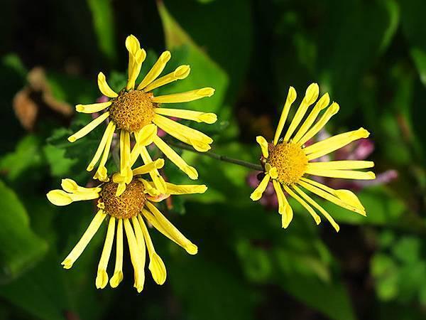 Asteraceae 27.JPG