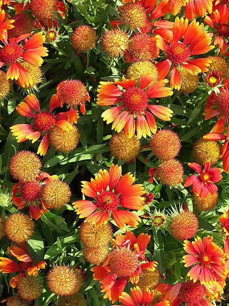 Asteraceae 25.JPG