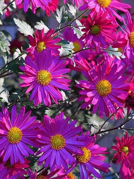 Asteraceae 28.JPG