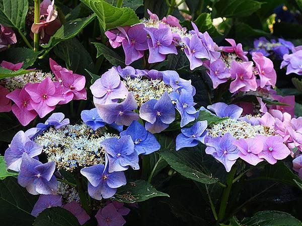 Blue floewers 8.JPG