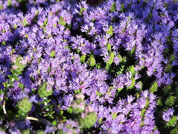 Greek flowers 7.JPG