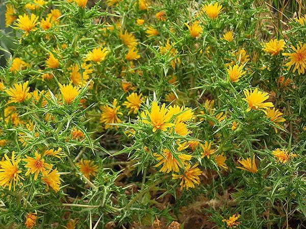 Greek flowers 15.JPG