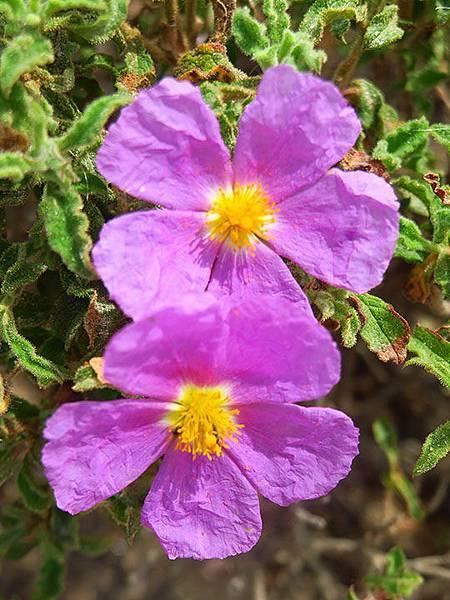 Greek flowers 13.JPG