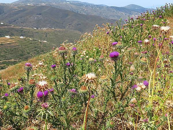 Greek flowers 18.JPG