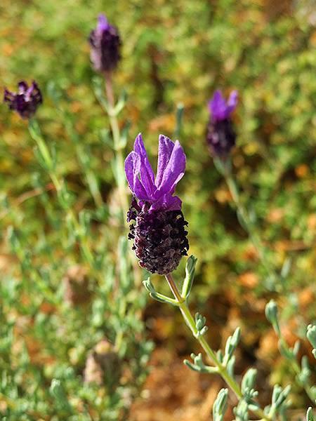 Greek flowers 20.JPG