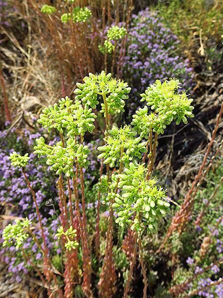Greek flowers 24.JPG