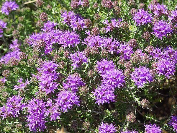 Greek flowers 23.JPG