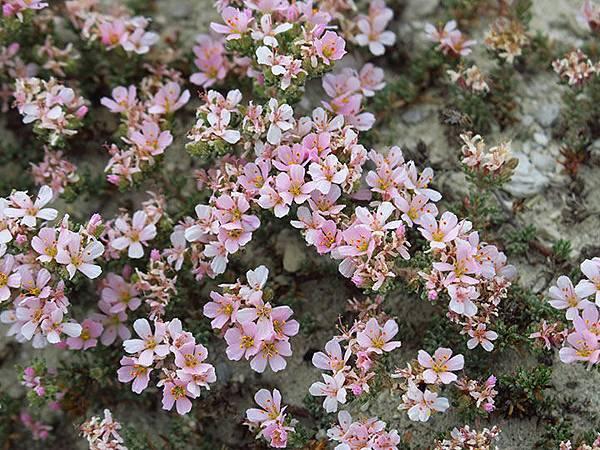 Greek flowers 27.JPG