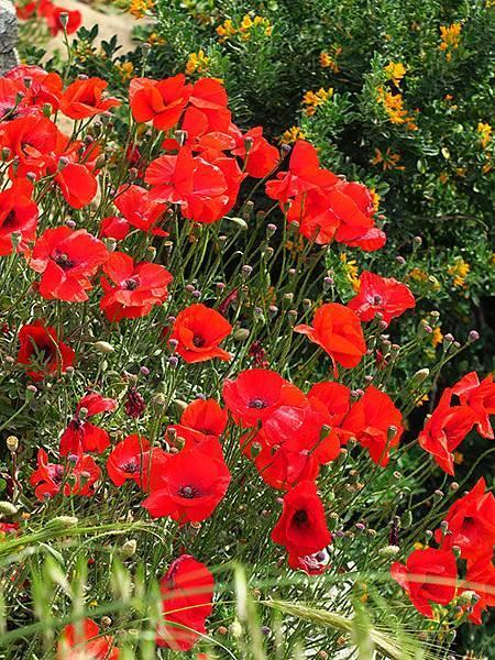 Greek flowers 33.JPG