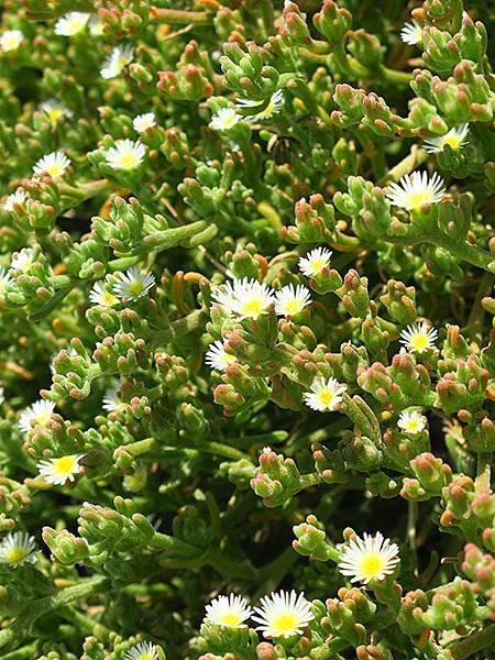 Greek flowers 32.JPG