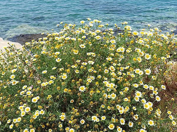 Greek flowers 31.JPG