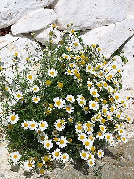 Greek flowers 36.JPG