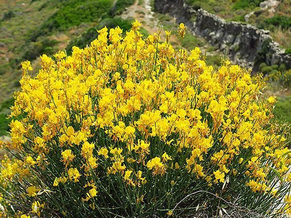 Greek flowers 38.JPG