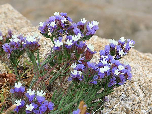 Greek flowers 40.JPG
