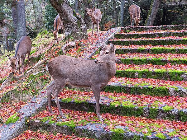 Nara park a1.JPG