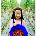 阿牛哥採番茄