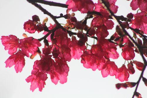 cherry-3.jpg