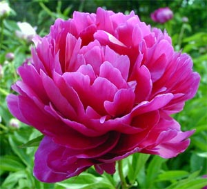 peony-red-China.jpg