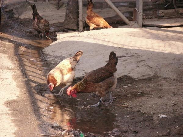小雞啄米圖