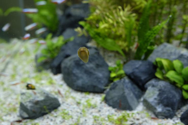 2017-05-04 蜜蜂角螺的兩齒小牙