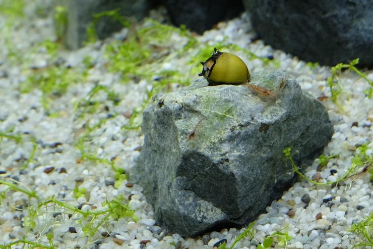 2017-05-04 蜜蜂角螺最愛硬景觀上的藻