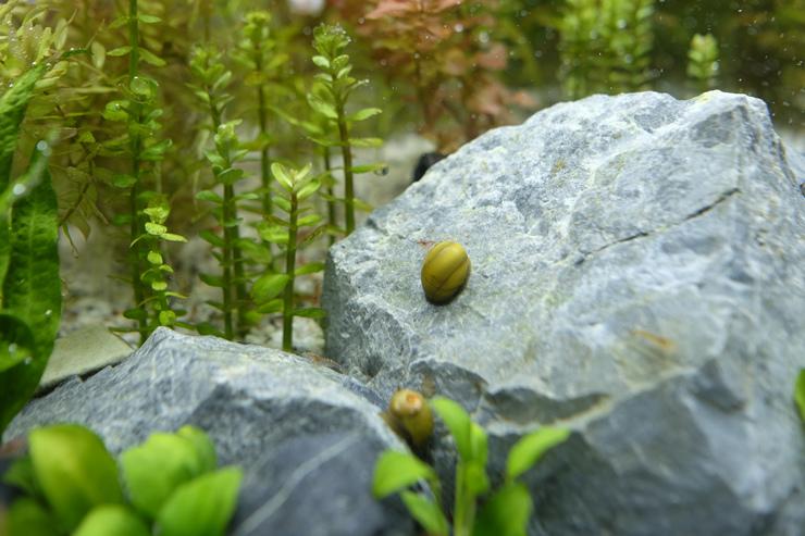 2017-05-04 蜜蜂角螺角已溶光