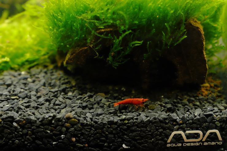 2017-06-17 有著深紅色的極火蝦