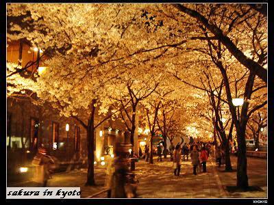 2006.4白川の桜