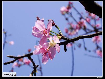 台湾の山桜