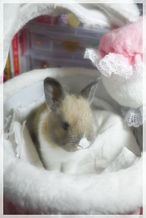 豬豬兔 遠看小豬豬哈
