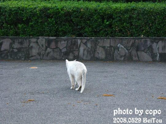 第一隻,白貓