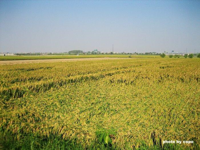 98 準備收割的稻田.JPG