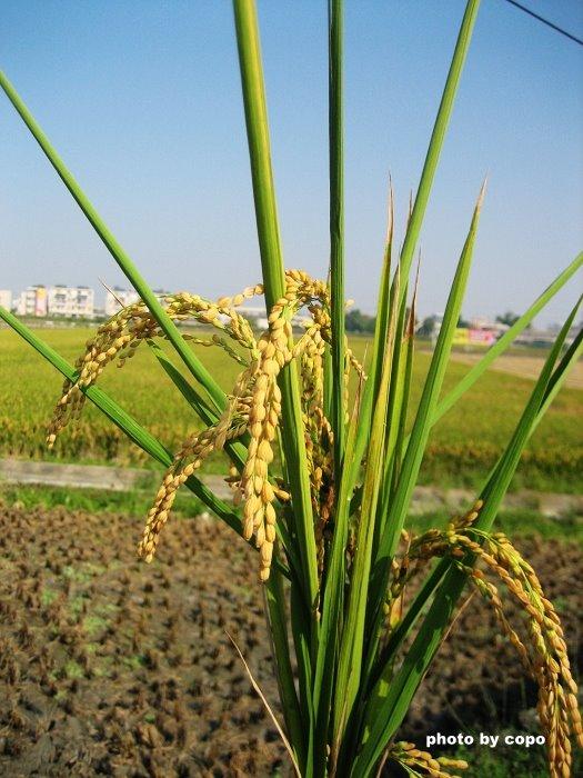 99 美麗的稻穗.JPG