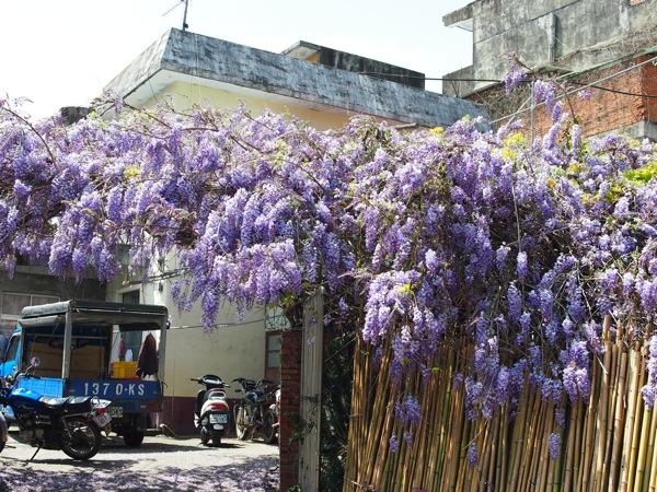 005_田埔民宅的紫藤花