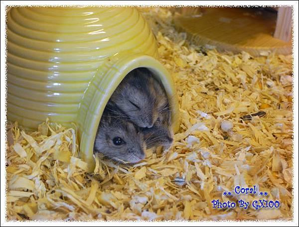 下午到竹北寵物店逛逛~~~老鼠全擠在小窩