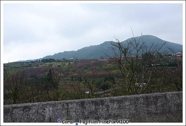滿山的櫻花
