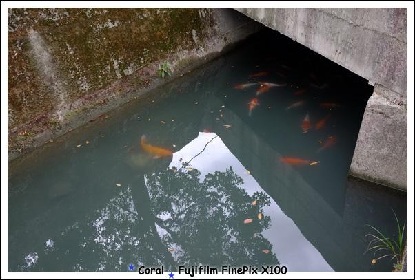 肥ㄘㄘ的大鯉魚