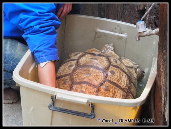 烏龜洗澎澎
