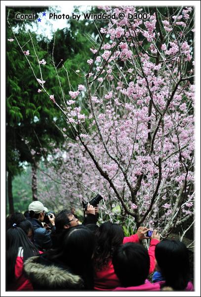 全九族最粉嫩的櫻花樹
