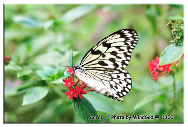 這種蝴蝶看到最多隻