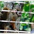 松鼠猴媽媽背著小寶寶