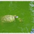 大烏龜和小烏龜在玩耍