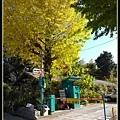 秋天的銀杏黃的很美