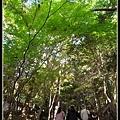 頭頂上綠油油的楓葉