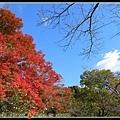 發現火紅的楓葉