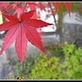 永觀堂的楓葉紅了