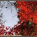 沿路的楓紅