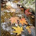 水中的楓葉別有一番滋味